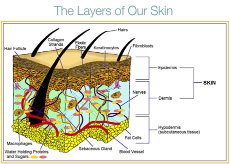 The 3 important layers of the Skin.